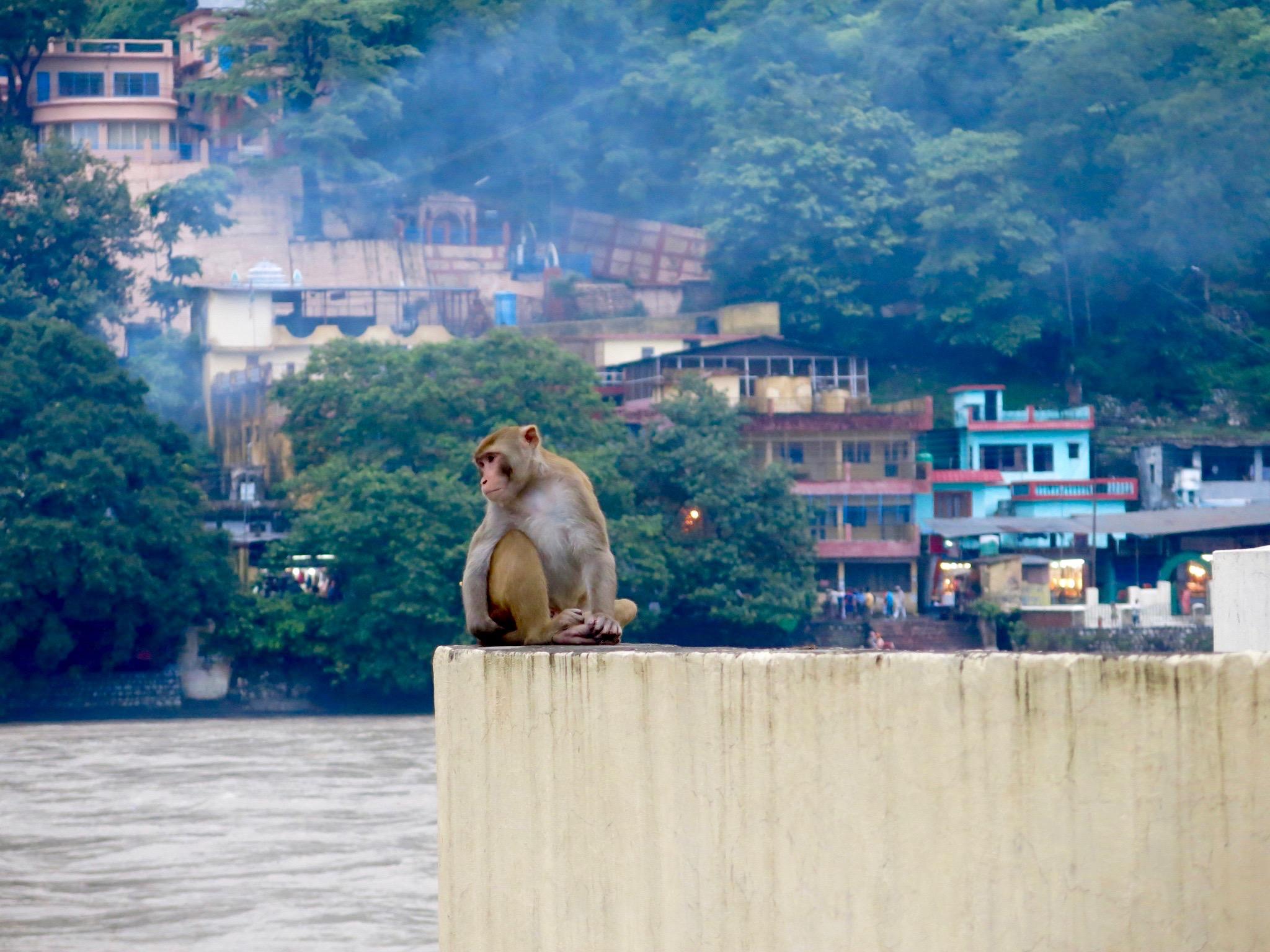 Rooftop monkey